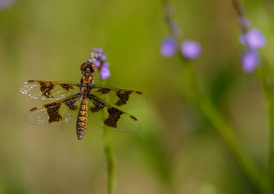 White-tail Dragonfly