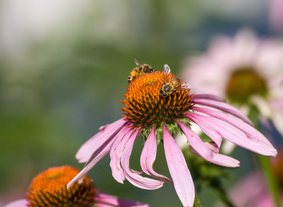 Bees with Coneflower