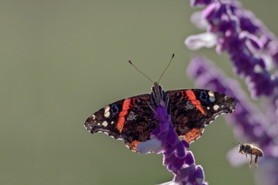 Red Admiral with Bee