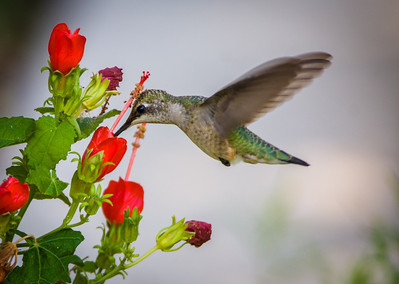 Hummingbird and Turk's Cap, Bob Jones Nature Center, TX, 2009