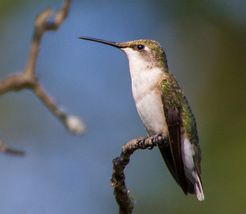 Female Hummingbird, Bob Jones Nature Center, TX, 2009