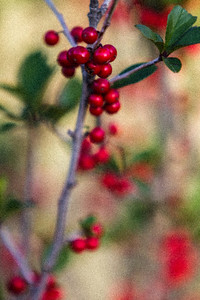 Holly Berries II