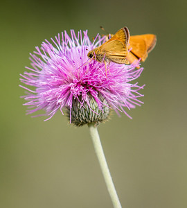 Folded-wing Skipper