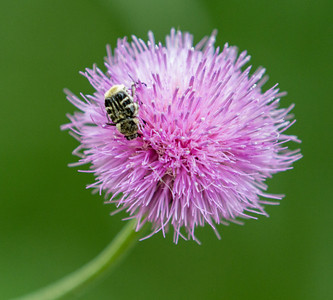 Thistle with Pollinator