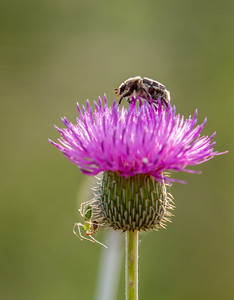 Busy Thistle