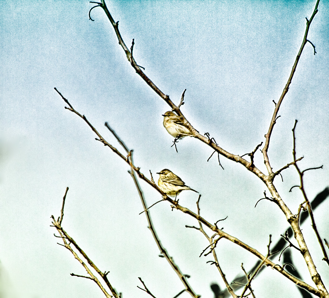 Yellow-rumped Warblers
