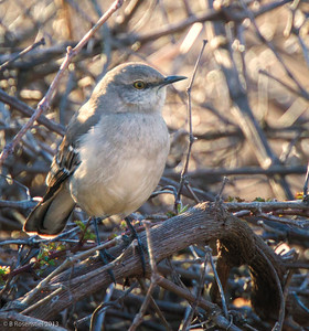 Northern Mockingbird Bob Jones Park, BJNCP, Southlake Texas, 2013