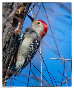 Red-bellied Woodpecker Bob Jones Park, BJNCP, Southlake Texas, 2013