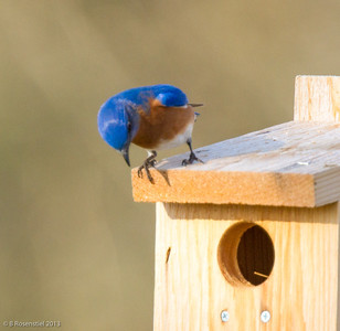 Eastern Bluebird Male Bob Jones Nature Center, Southlake, TX, 2013