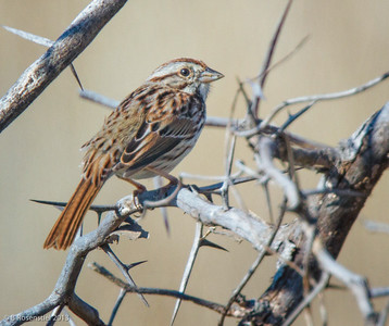 Song Sparrow Bob Jones Park, BJNCP, Southlake Texas, 2013