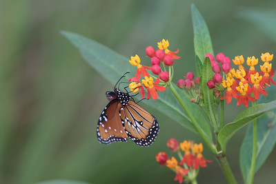 Queen on Tropical Milkweed