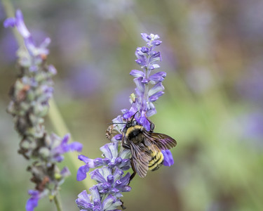 Bee on Mealy Blue Sage