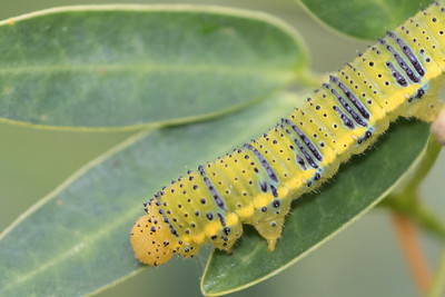 Cloudless Sulphur Caterpillar on Senna Leaf