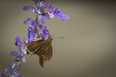 Folded-wing Skipper on Mealy Blue Sage