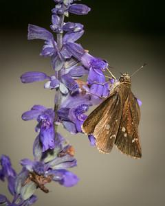 Pollinator Garden, Bob Jones Nature Center, Southlake, TX, 2017