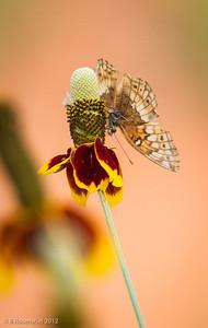 Variegated Fritillary, Bob Jones Nature Preserve, May, 2012