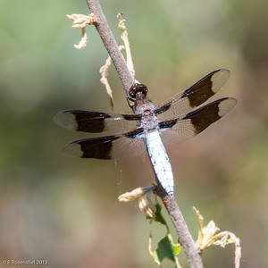 White-tailed Dragonfly