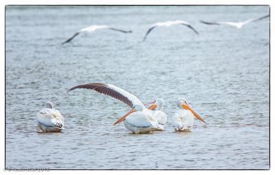 American White Pelican Quail Creek, Bob Jones Nature Center and Preserve, Southlake Texas, Feb 22, 2013