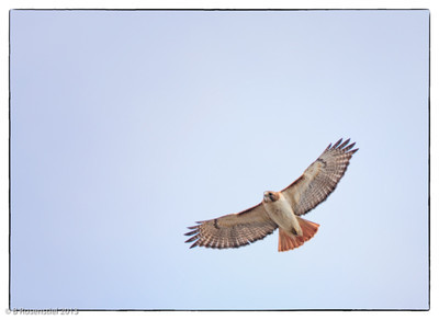 Red-tail Hawk Quail Creek, Bob Jones Nature Center and Preserve, Southlake Texas, Feb 22, 2013