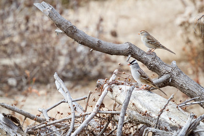 White-crowned & Chipping Sparrows