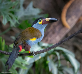 Mountain Toucan