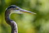 Great Blue Heron V, FW Botanic Garden, 2009