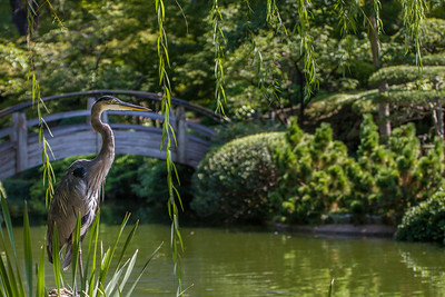 Great Blue Heron II, FW Botanic Garden, 2009
