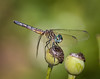 Blue Dasher II