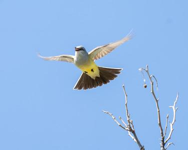 Westernn Kingbird
