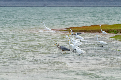 Great Blue Heron,Great Egret
