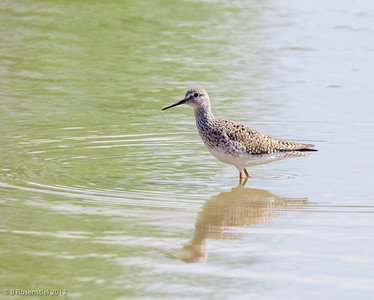 Greater Yellowlegs Fort Worth Nature Center, TX, 2013