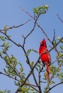 Northern Cardinal Bob Jones Nature Preserve, TX, 2013