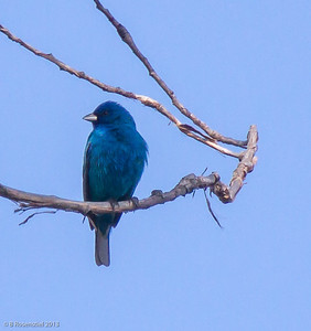 Indigo Bunting Bob Jones Nature Preserve, TX, 2013