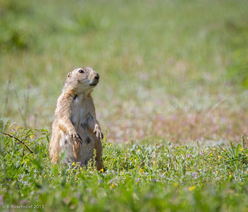 Prairie Dog  Fort Worth Nature Center, TX, 2013