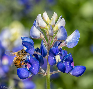 Bee and Bluebonnet Our Garden, Grapevine, TX, 2013