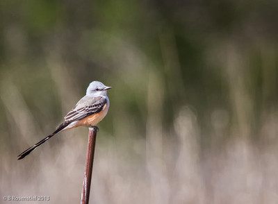 Scissor-tailed Flycatcher Bob Jones Nature Preserve, TX, 2013