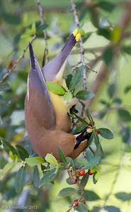 Cedar Waxwing and Yaupon Holly Our Garden, Grapevine, TX, 2013