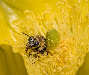 Cactus Bees, Grapevine, TX, 2014