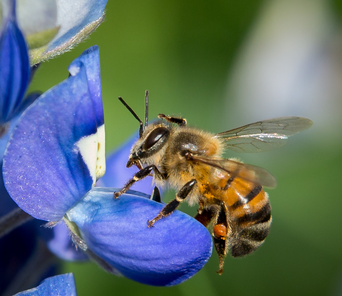 Bees and Bleubonnets, Grapevine, TX, 2013