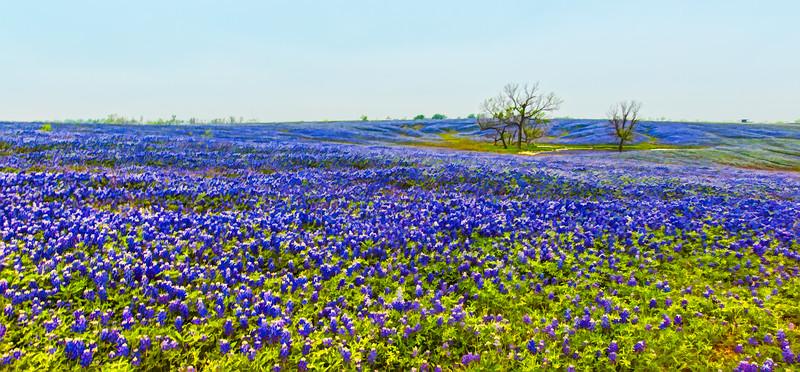 Texas Bluebonnets Smallworldphotos
