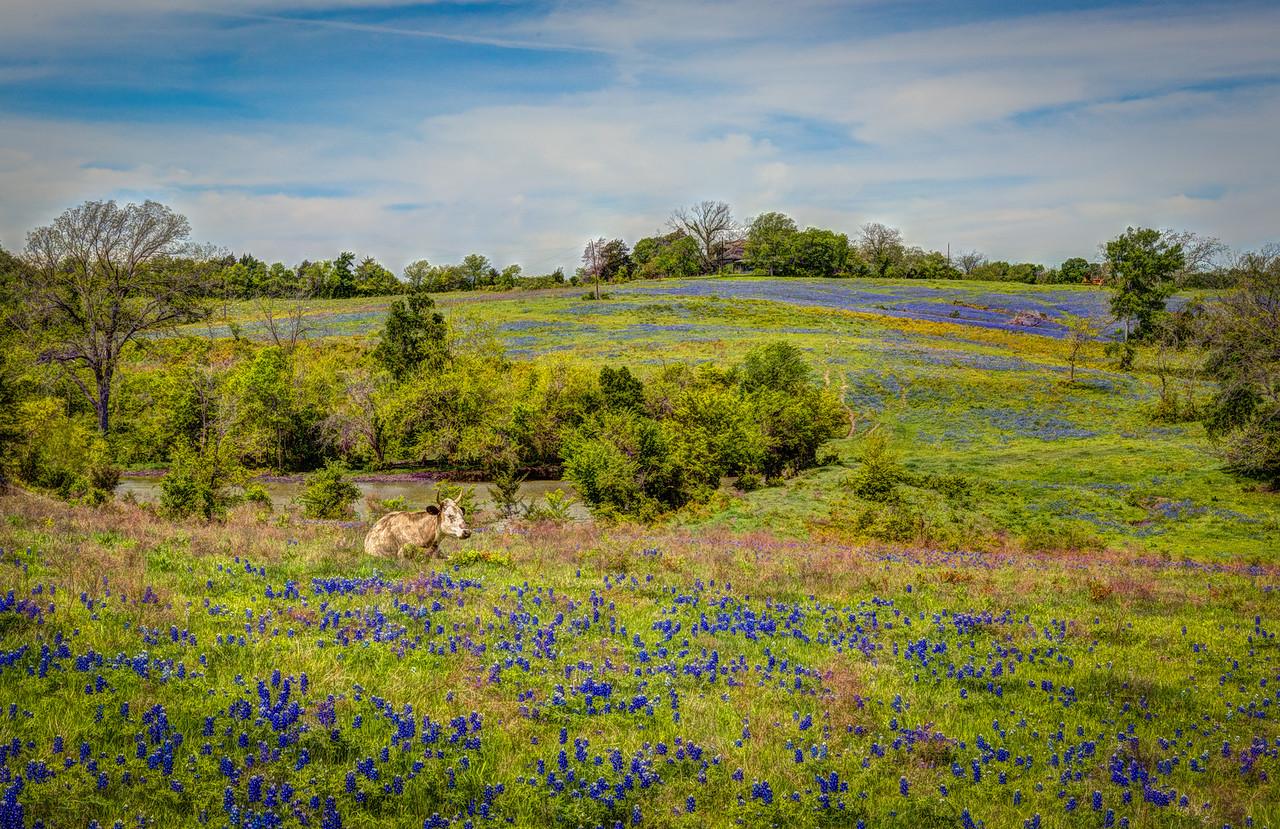 Bluebonnets, Ennis, Texas, 2014