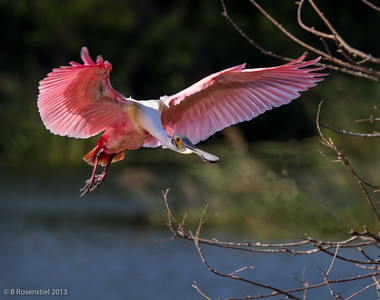 Looking to Land The Rookery, Smith Oaks Woods, High Island, TX, 2013