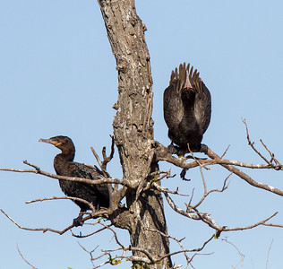 Neotropic Cormorant Courtship Display