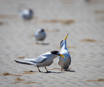 Least Tern Offering Fish to the Uninterested