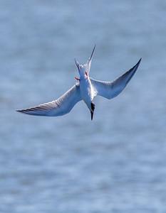 Royal Tern Diving