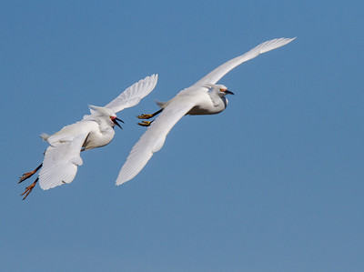 Snowy Egret in Chase Formation