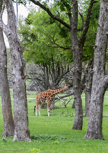 Fossil Rim Wildlife Park, Texas, March, 2012