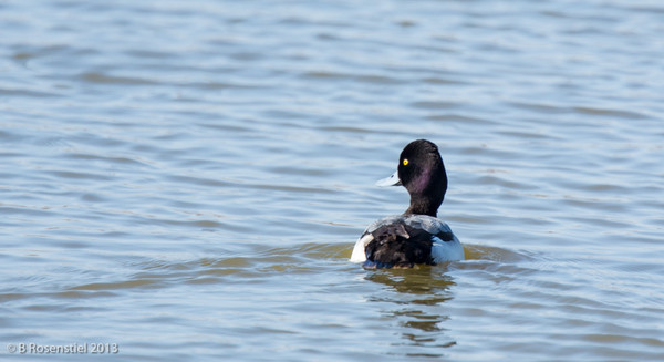 Lesser Scaup Hagerman National Wildlife Refuge, Texas, 2013