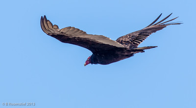 Turkey Vulture Hagerman National Wildlife Refuge, Texas, 2013