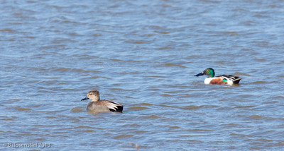 Gadwall and Northern Shoveler Hagerman National Wildlife Refuge, Texas, 2013